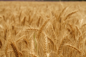 wheat_field_2