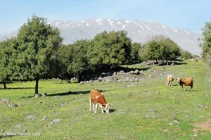 Cows-of-Bashan-with-Mount-Hermon,-tb032905276-bibleplaces